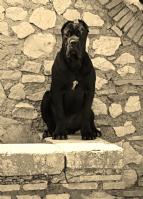 Cuccioli di cane corso in regalo in sicilia