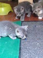 Cerco gattini in regalo sassari