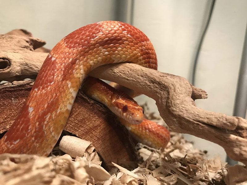 adottare un serpente domestico